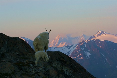 even the goats take time to admire the stunning scenery of Alaska