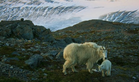 """""""wake up""""! goats at my camp above Exit Glacier"""