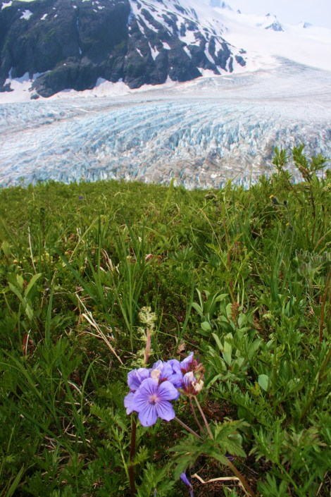 forget-me-not grows high above the cold blue ice of Exit Glacier