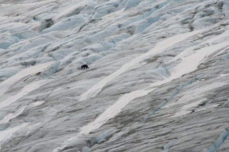 a black bear navigates the ice of Exit Glacier