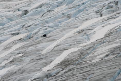 a black bear navigates the ice of Exit Glacier
