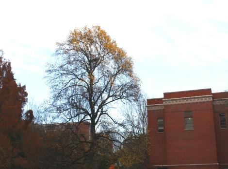 tree in autumn- U. of Oregon campus