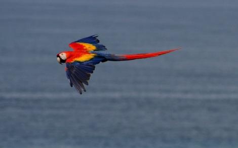 scarlet macaw- Corcovado