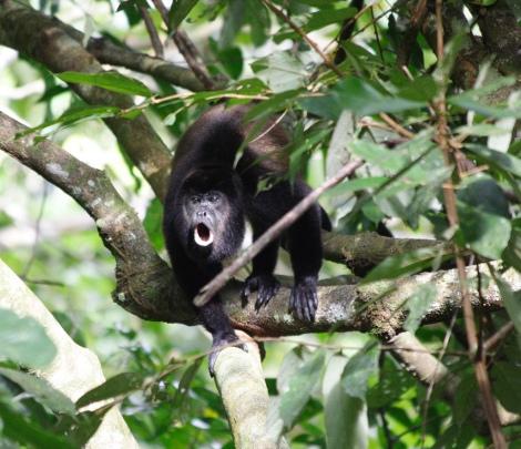 howler monkey- Corcovado