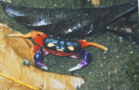 crab- Corcovado