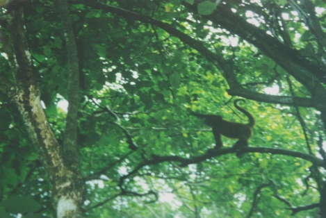 monkey in the treetop- Corcovado